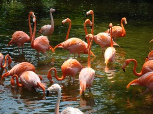 Flamingos at the Jurong Bird Park